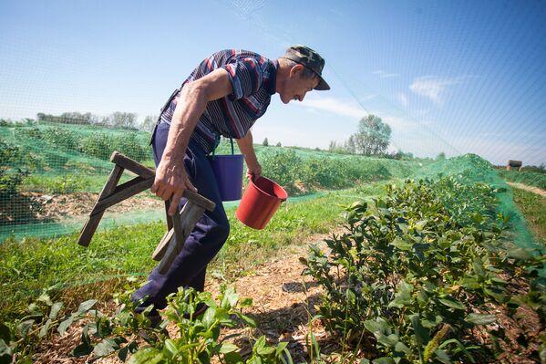 Если не лениться, то на ягодах за 3-4 недели сбора можно заработать нормальные деньги. - Sputnik Беларусь