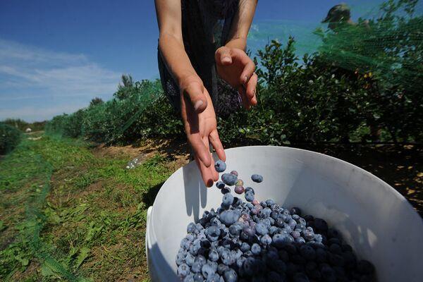 Сейчас здесь выращиваются различные сорта яблок, груш, слив, черешни. - Sputnik Беларусь