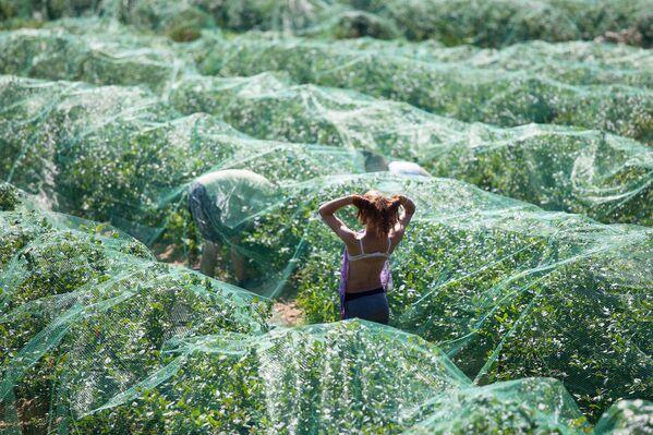 На жаре работать под этой сеткой очень трудно – нет ветра, и жара усиливается. - Sputnik Беларусь