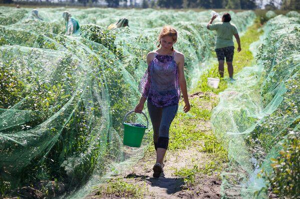 В Минске на рынках ягода сейчас продается от 10 до 14 рублей за килограмм. - Sputnik Беларусь