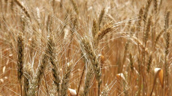Пшеничное поле, архивное фото - Sputnik Беларусь