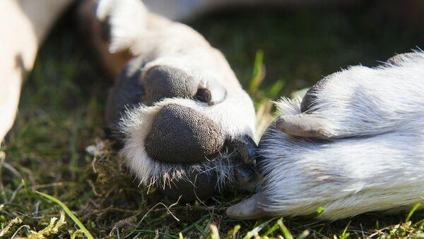 Лапы собаки, архивное фото - Sputnik Беларусь