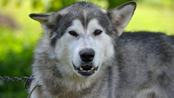 Собака породы маламут - Sputnik Беларусь