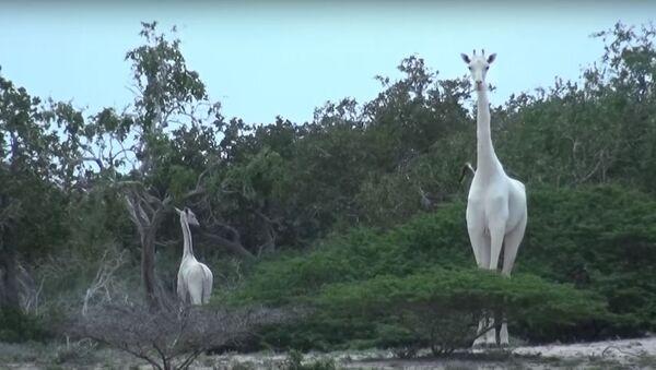 Белые жирафы в зоопарке Кении, видео - Sputnik Беларусь