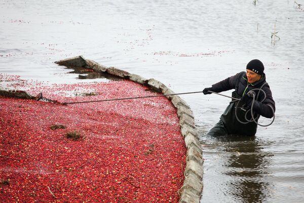 Каждый год фотографы отправляются на пинские плантации за новыми кадрами и не устают снимать клюквенное море. - Sputnik Беларусь