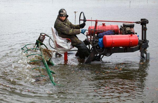 Клюквенные плантации перед сбором заполняют водой. - Sputnik Беларусь