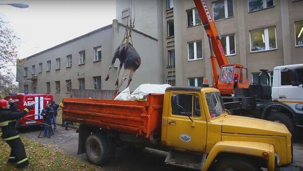 Малады лось зайшоў у Гродна і праваліўся ў сутарэнне НДІ - Sputnik Беларусь