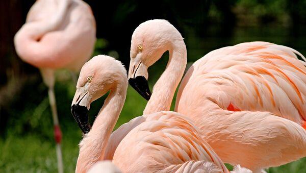 Фламинго - Sputnik Беларусь