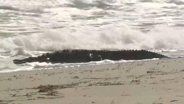 Крокодил длиной около 1,8 м был замечен на пляже во Флориде - Sputnik Беларусь