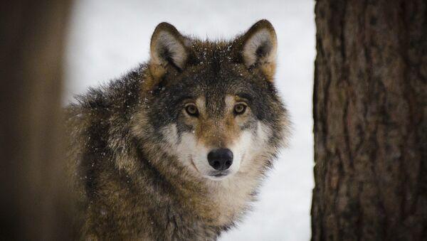 Волк в лесу, архивное фото - Sputnik Беларусь