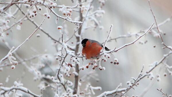 Снягір на галінцы дрэва - Sputnik Беларусь