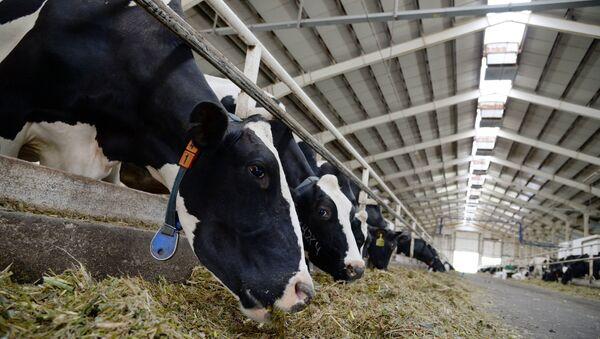 Коровы на ферме - Sputnik Беларусь