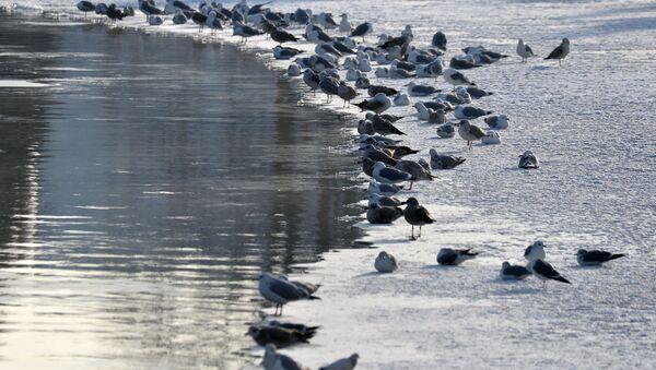 Чайки на кромке льда - Sputnik Беларусь