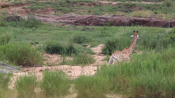 Жираф спасся от крокодила чтобы быть съеденным львами - Sputnik Беларусь