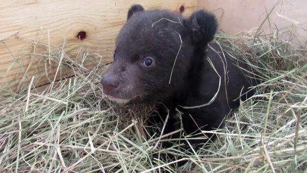 Ветэрынары выходжваюць гімалайскае медзведзяня - Sputnik Беларусь