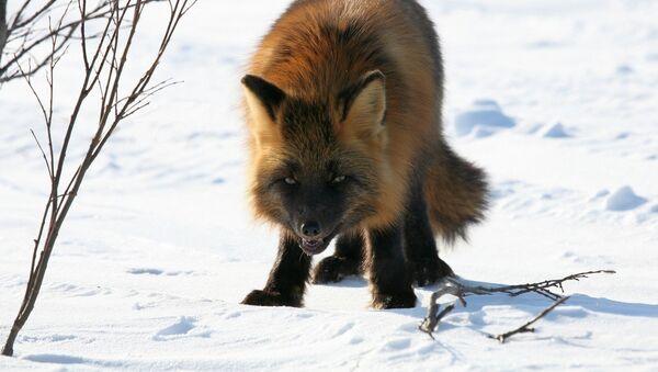 Бешеная лиса, архивное фото - Sputnik Беларусь