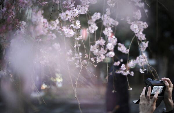 Наведвальнік фатаграфуе кветкі вішні, якія толькі пачынаюць распускацца, у парку Уэна ў Токіа 16 сакавіка. - Sputnik Беларусь