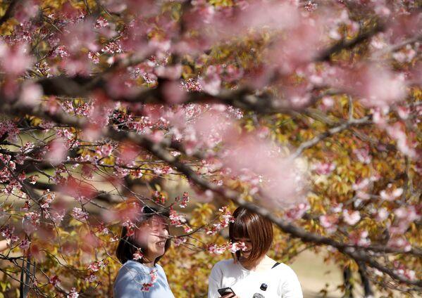 Ханамі - гэта японская нацыянальная традыцыя любавання кветкамі. Пачынаецца яна з кветак умэ (японская сліва), затым пачынае квітнець сакура. Пра час цвіцення паведамляюць спецыяльныя часопісы і перадачы на радыё і тэлебачанні. - Sputnik Беларусь