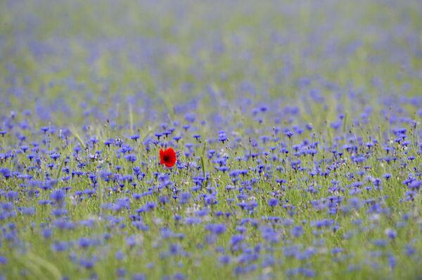 Синие васильки и одинокий мак-самосейка на поле возле Мюнхберга, Германия. - Sputnik Беларусь