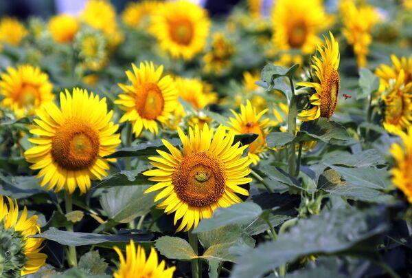 Улыбающийся подсолнух на поле в Токио. Посещать поля цветущих подсолнечников - еще одна традиция японцев. - Sputnik Беларусь