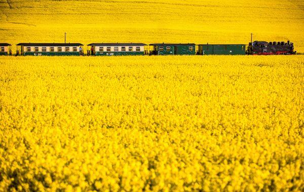 Паровоз 1953 года тянет пассажирский поезд через цветущее поле рапса на острове Рюген. - Sputnik Беларусь