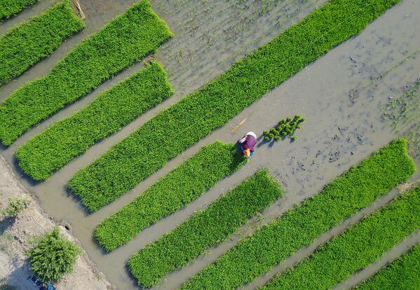 Жители деревни выращивают рис в поле в Ляньюньган, в восточной части Китая в провинции Цзянсу. - Sputnik Беларусь