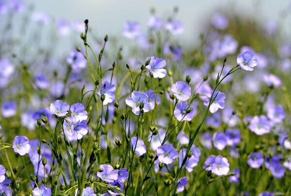 Синие цветы льна в Рекспоэде, округ Дюнкерк, Франция. - Sputnik Беларусь