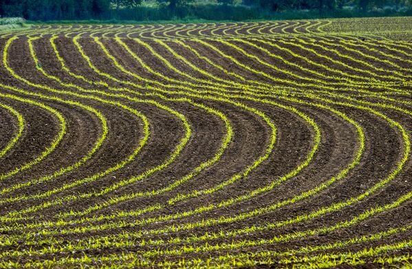 Кукурузное поле в Годеваевельде на севере Франции. - Sputnik Беларусь