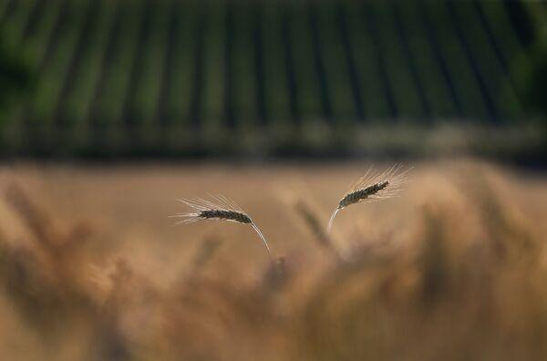 Зерновое поле и виноградники в лучах солнца возле Зегница, на юге Германии. - Sputnik Беларусь