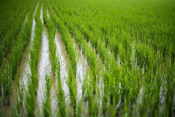 Рисовое поле в Дельте Меконга на юге Вьетнама. - Sputnik Беларусь