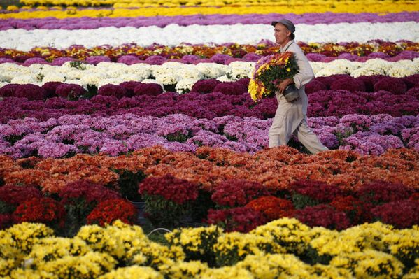 Садовник-фермер на поле хризантем на французском средиземноморском острове Корсика. - Sputnik Беларусь