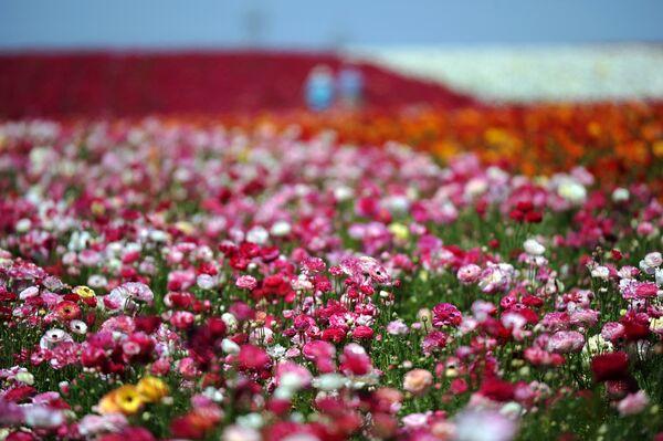 Цветочные поля в Карлсбаде к северу от Сан-Диего в Калифорнии - это почти пятьдесят гектаров лютиков одного из лучших сортов в мире - Giant Tecolote Ranunculus. Родина цветка - Малая Азия. - Sputnik Беларусь