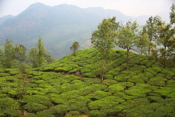 Чайные плантации под Муннаром в горах Западные Гаты в индийском штате Керала. - Sputnik Беларусь