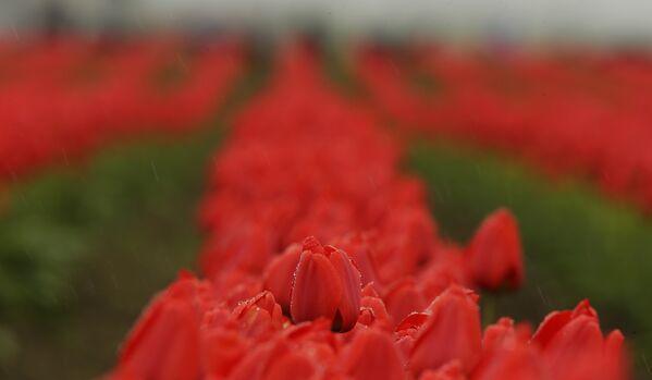 Поле тюльпанов в долине Скагит у подножия горы Вернон, штат Вашингтон. Каждую весну здесь проходит фестиваль тюльпанов. - Sputnik Беларусь