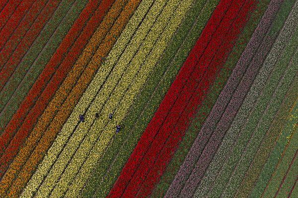 Люди работают на полях тюльпанов в Лиссе, примерно в 20 километрах от Амстердама, Нидерланды. - Sputnik Беларусь