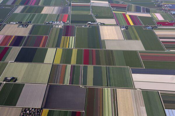 Поля цветущих тюльпанов в Ден-Хелдер, на самом севере Нидерландов. - Sputnik Беларусь