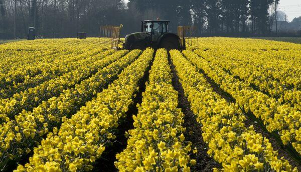 Голландские нарциссы на ферме около Холбича в восточной части Англии. - Sputnik Беларусь