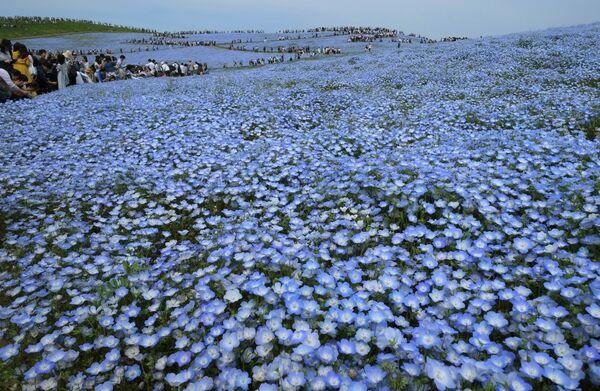 Поля немофилы и толпы созерцателей, бредущих по дорожкам в Хитати, Япония. - Sputnik Беларусь