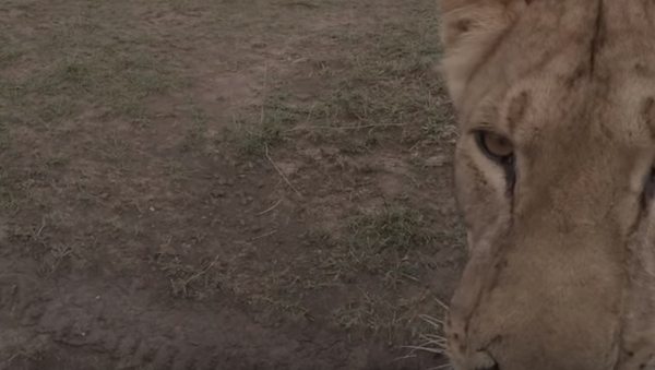 В Кении львица украла камеру у съемочной группы - Sputnik Беларусь