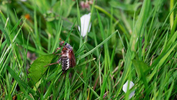 Майскі жук, архіўнае фота - Sputnik Беларусь