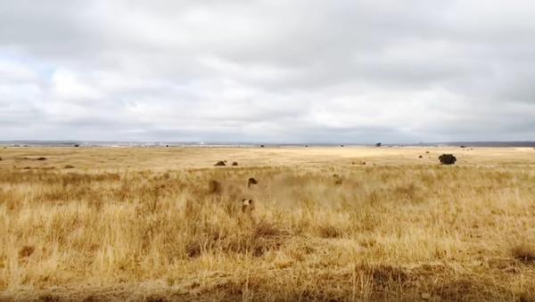 Туристы сняли на видео схватку львов в Кении - Sputnik Беларусь
