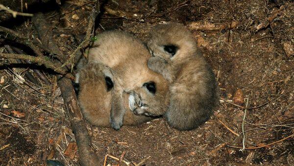 Маленькие рысята, найденные в Налибоках - Sputnik Беларусь