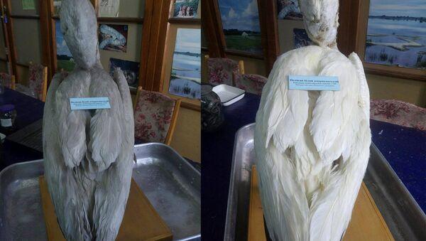 Запіску, якой амаль 200 гадоў, знайшлі ў чучале пелікана ў кіеўскім музеі - Sputnik Беларусь