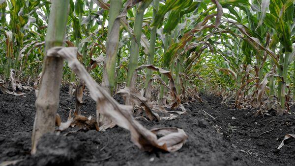 Засыхаючыя пасевы кукурузы - Sputnik Беларусь