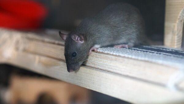 Крыса, архивное фото - Sputnik Беларусь