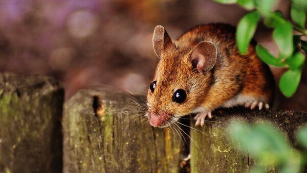 Мышь, архивное фото - Sputnik Беларусь