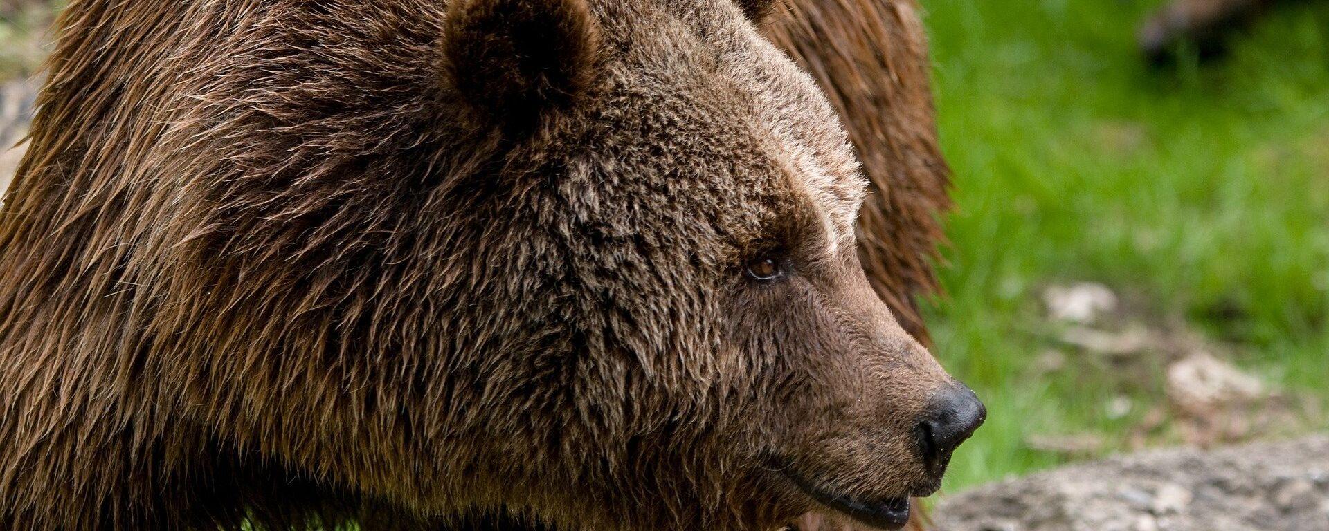 Бурый медведь, архивное фото - Sputnik Беларусь, 1920, 19.05.2021