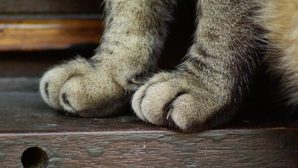 Кошачьи лапы, архивное фото - Sputnik Беларусь