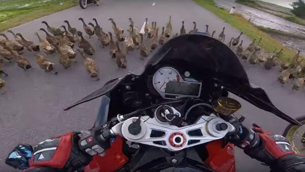 Стая уток остановила мотоциклиста, видео - Sputnik Беларусь