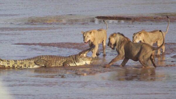 Трое львов напали на крокодила (видео) - Sputnik Беларусь